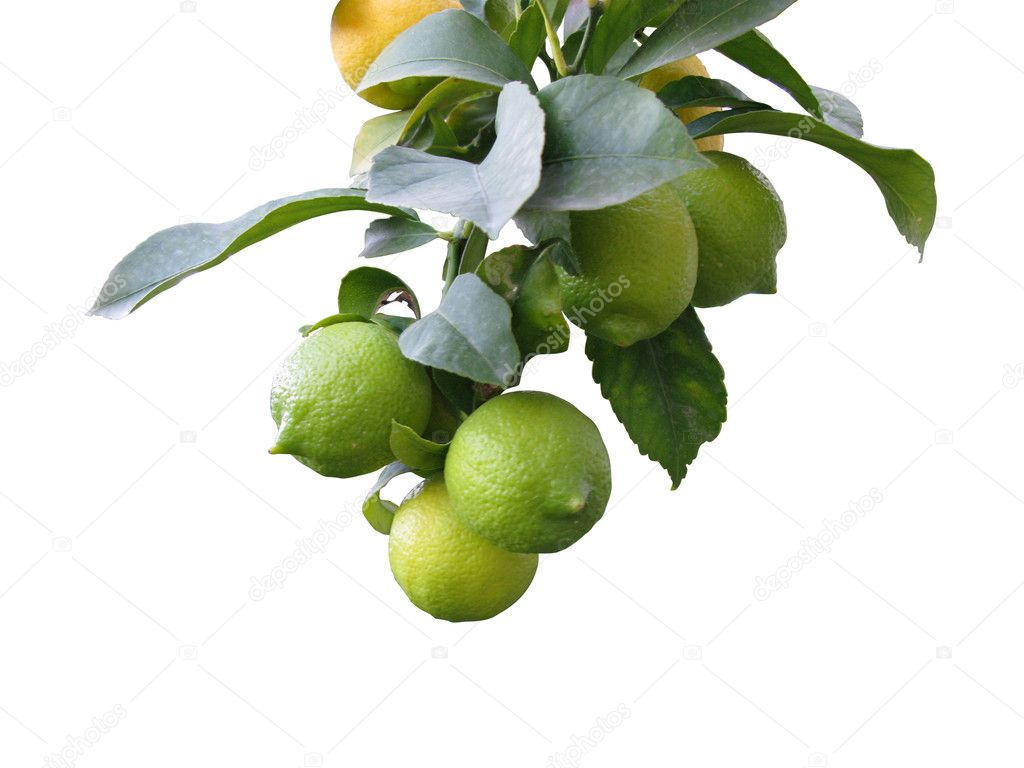 Branch of lemon tree — Stock Photo #7920703