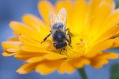 Bee in Burgos — Stock Photo