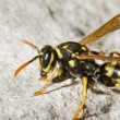 Wasp in rock — Stock Photo #7946267