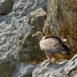 Vulture in Monfrague, Extremadura, Spain — Stock Photo