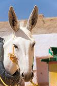 Donkey in Kharga, Egypt — Stock Photo