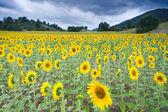 Field of sunflowers in Mijaraluenga, Burgos Spain — Stock Photo
