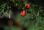 Yew tree (Taxus baccata) with red fruits — Stock Photo