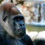 Serious gorilla thinking — Stock Photo #7931159
