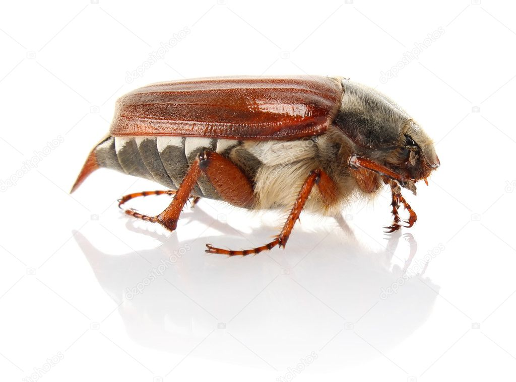 Cockchafer isolated on white background — Stock Photo #10250644