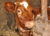 Young cow in stall — Stock Photo