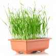 Stock Photo: Youthful sucker wheat in brown pot