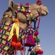 Stock Photo: Decorated Camel