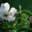 A roship flower in the morning dew - Stock Photo
