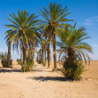 thumbnail of Palms in the desert - Morocco