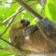 thumbnail of Three-toed Sloth
