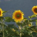 thumbnail of Sunflower field