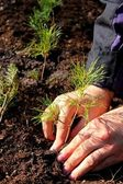 Planting young tree