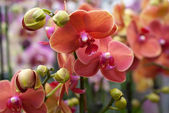 Blooming coral Phalaenopsis orchids plants in greenhouse (close up)