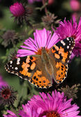 Motýl na chryzantéma