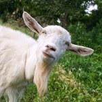 thumbnail of Funny goat