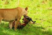 Divoké africam lvice stravovací pakoně