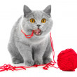Постер, плакат: British blue cat chewing red ball of threads