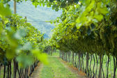 Summer vineyard in Northern Italy