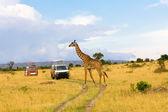 žirafa přes silnici