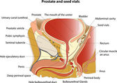 Prostate and seminal vesicles. Educational poster