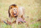 Jeden muž Lev (panthera leo) v savannah