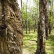 thumbnail of Rubber Plantation