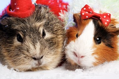 Funny Animals. Guinea pig Christmas portrait