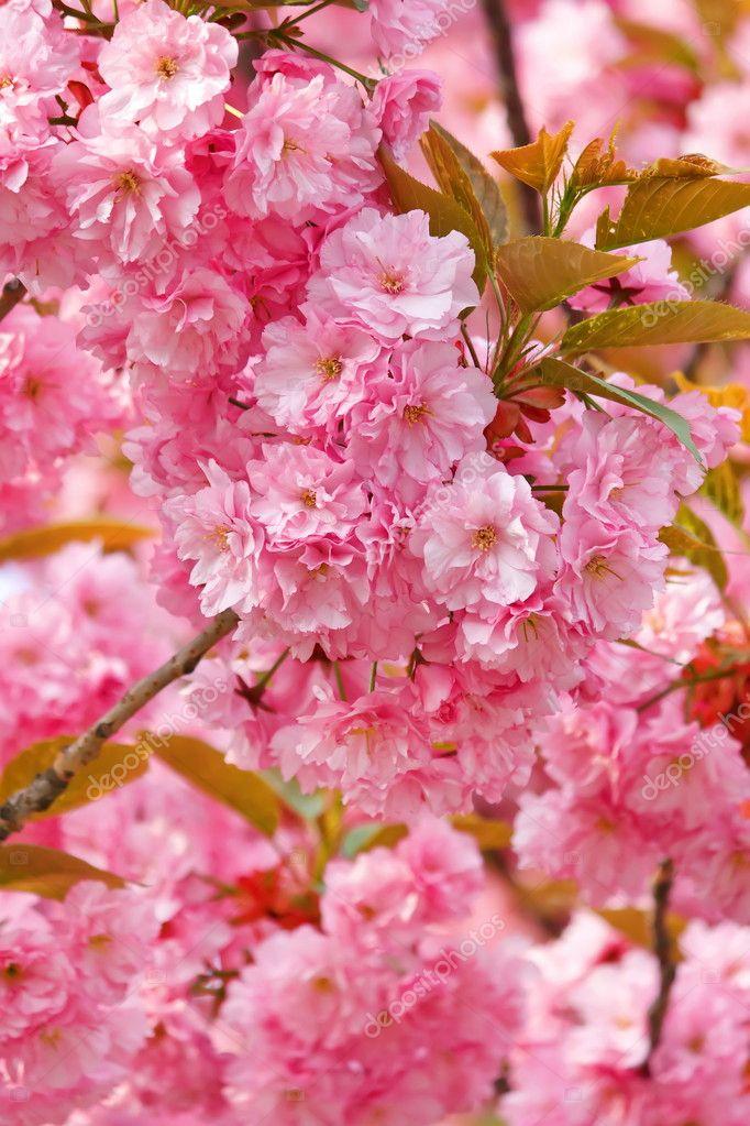 japansk körsbär