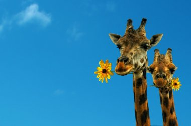 Two lovely giraffes on a nice blue day