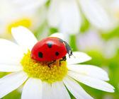 Fotografie Ladybug