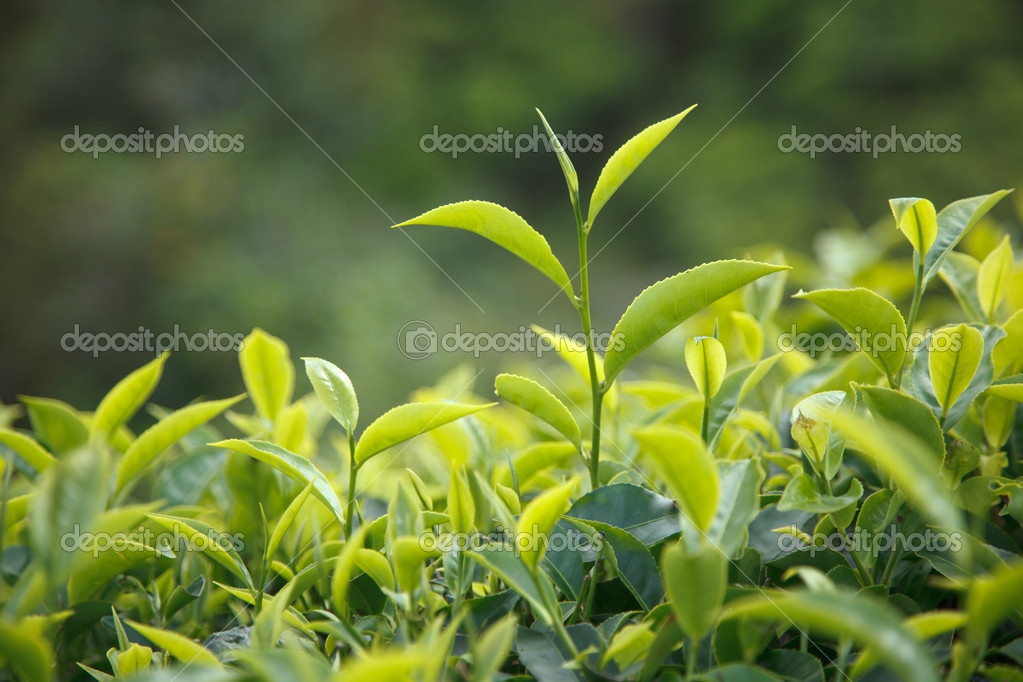 Tea bud and leaves