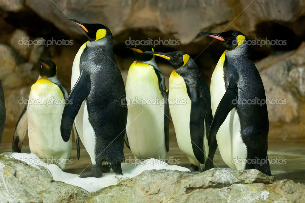 King Penguins (Aptenodytes patagonicus)
