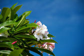 Fotografie Frangipani (Plumeria)