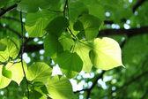čerstvé listy, zářící ve slunečním světle