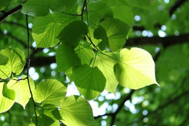 Fresh foliage glowing in sunlight