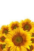 Krásné slunečnice