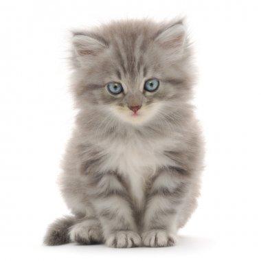 Gray kitten on a white background stock vector