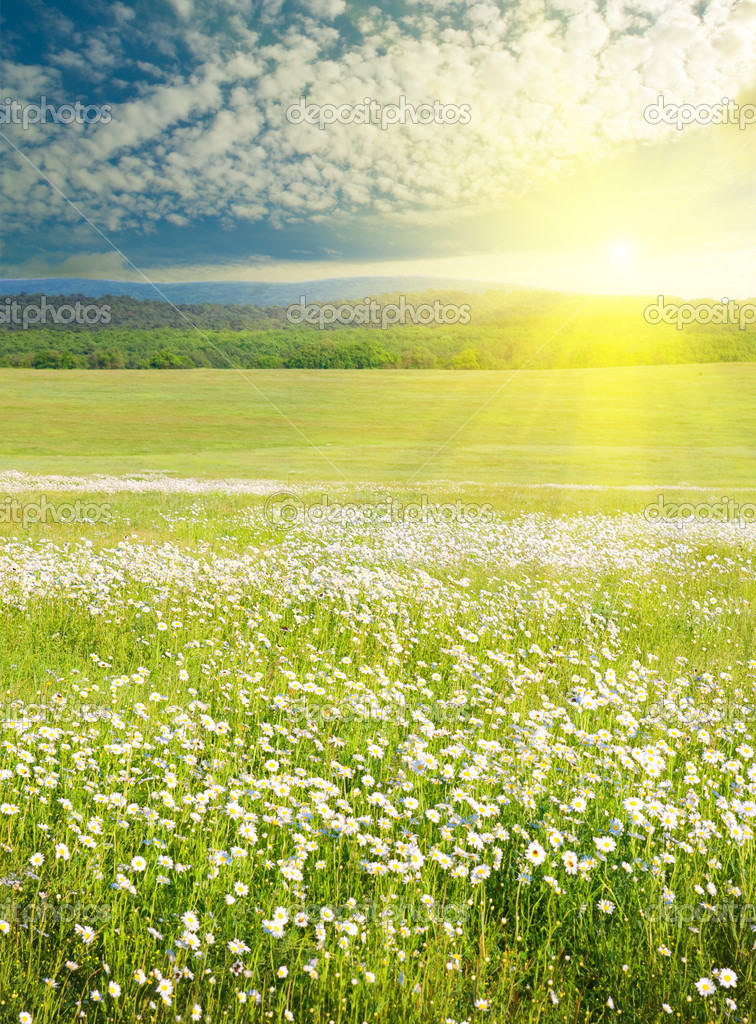 Big Field Of Flowers On Sunrise Composition Nature Photo By Despotoll
