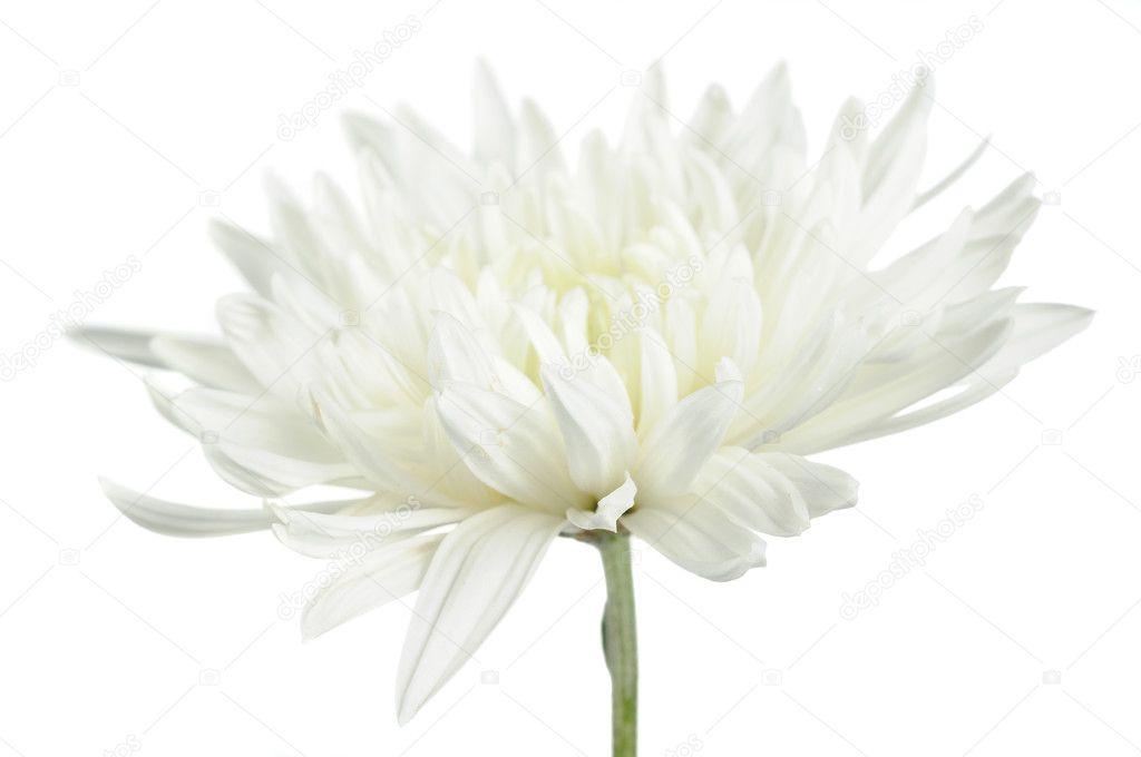 Beautiful White Chrysanthemum Flower