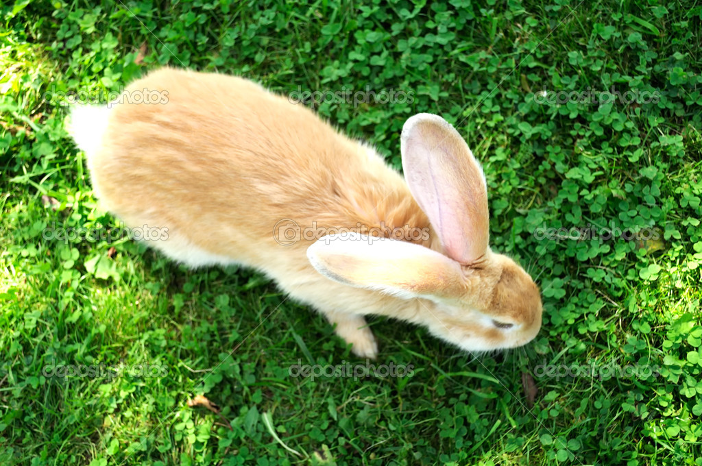 Red Rabbit in Grass (Top View)