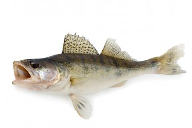 Walleye or Zander