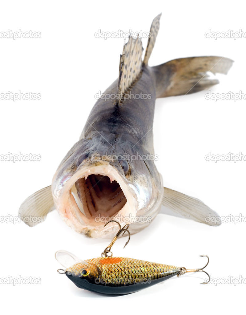 Walleye zander