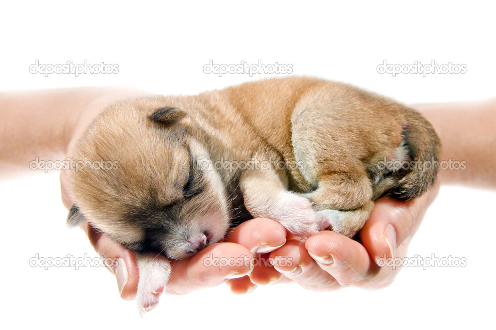 Newborn puppy in the caring hands