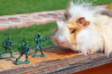 Guinea pig resists to toy soldier stock vector