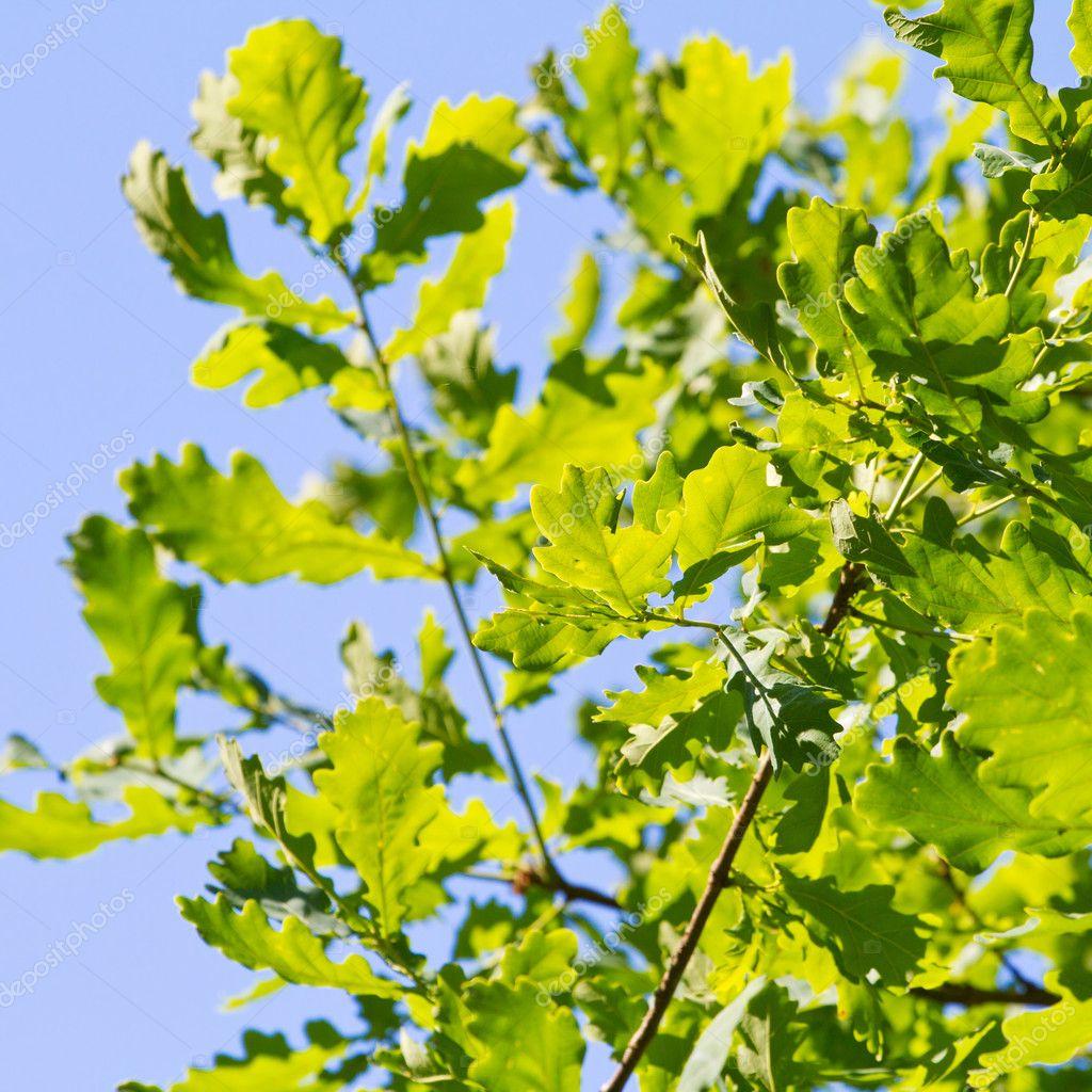 Green oak leaves against blue sky