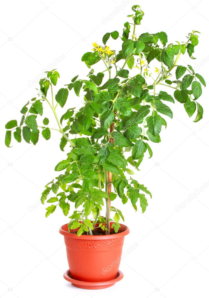 Tomato plant growing in a flower pot isolated on white