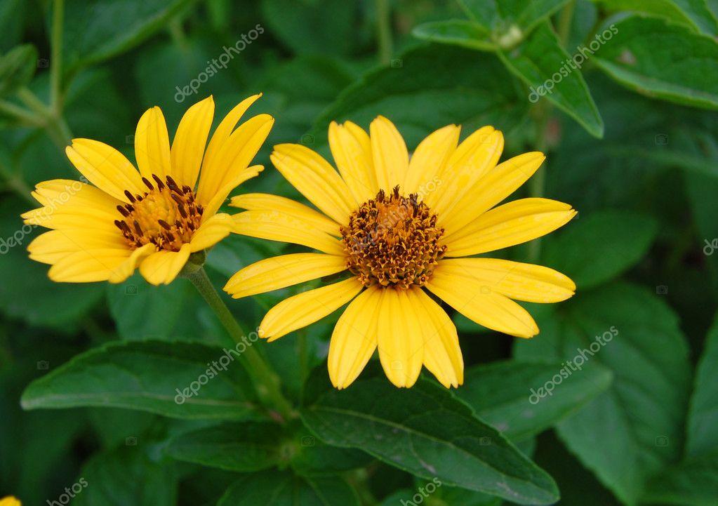Beautiful Yellow Bell Flowers Stock Photo Soyka564 7425963
