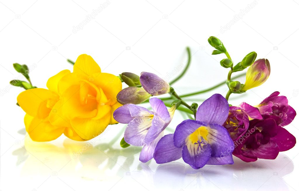 Yellow and violet fresia on white