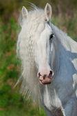 bílém koni hlava